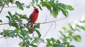 орнитология : Cardinal on a tree branch. Стоковые видеозаписи