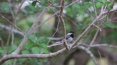 орнитология : Chickadee on a tree branch eating seeds.