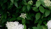 Blooming white Hydrangea flower in the garden Стоковые видеозаписи