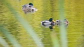 Male and female ducks swimming in a pond Стоковые видеозаписи