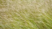 fújás : Tall grass blows in the wind on autumn close up. Stock mozgókép