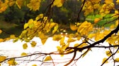 Golden autumn leaves sways in the wind over the water Стоковые видеозаписи
