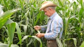 separates : An elderly Farmer Pulls and Clean Corn Cobs From the Leaves In the Field.