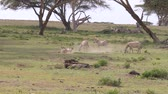 squirm : A Herd Of Zebras In A Field, One Falls Back On The Ground And Starts To Itch