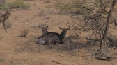 juvenil : Antelope Waterbuck Kobus Ellipsiprymnus Resting Under The Shade Of The Bushes