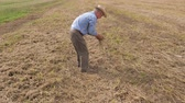 checks : Farmer On Field Picks Up Straw And Checks For Yield Losses After The Harvester