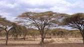 akác : Forest Beautiful Acacia Trees Grown In the Arid African Savannah, Kenya 4K.