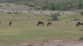 green area : Herd Of Wildebeest Grazing In A Green Field African Savanna After A Rain