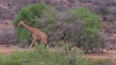 girafa : Giraffes Goes In African Savannah, Samburu, Eating The Leaves Of The Trees