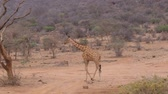zaprášený : Lonely Giraffe Walking On The Dry Dusty African Savannah, Samburu Kenya 4k Dostupné videozáznamy