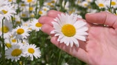 okşayarak : Female Hands Holding A Daisy And A Finger Gently Stroking The Petals Of A Flower