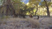 домик : Herd Of Wild Deer With Fawns Graze And Rest In Shade Of Trees Grove In Zion Park Стоковые видеозаписи