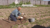 parcela : An Old Woman Digs Ripe Potatoes From The Beds In The Garden