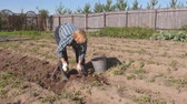 potato harvest : Elderly Woman Digs Ripe Potatoes From The Beds In The Garden And Puts In Bucket Stock Footage
