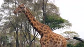 акация : Close Up Of A Beautiful African Giraffe Walks On The Background Of Acacias