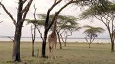 giraffe : African Adult Giraffe In The Savannah Of Acacia Trees Eat Their Leaves And Bark Stock Footage