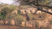 camelopardalis : Young African Giraffe Is Approach To The Bush With Green Foliage And Eats It Stock Footage