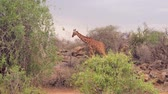 camelopardalis : Giraffe Goes Through The Shrubbery And Bushes Of The African Savannah