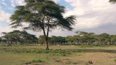 akác : African Landscape Of Acacia Tree And Zebra Grazing In The Distance