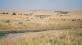 wildebeest : A Huge Herd Of African Zebras And Antelopes In The Savanna With High Dry Grass Stock Footage