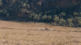 game reserve : Wild African Zebras Graze In The Meadow During The Dry Season In The Reserve Stock Footage