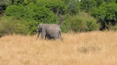 pachyderm : African Elephant Mom Covers Her Baby And Goes On The Savannah Near The Bushes