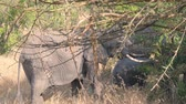 game reserve : African Wild Elephants Graze In The Bushes Stock Footage