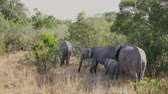 слоновая кость : Family Of African Wild Elephants With Babies In The Bushes