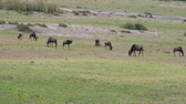 wildebeest : A Herd Of Wildebeest Grazing On A Green Meadow In The African Savannah Stock Footage