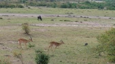 savana : Antelopes Thomson Go One After Another In The Bushes In The African Savannah