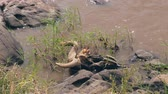 migração : Skull With Antelope Horns Gnu On The Shore Of The Mara River In The Africa