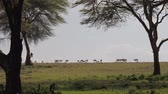 акация : Antelope Grazing On A Green Meadow Or The African Savannah To The Acacia Trees Стоковые видеозаписи