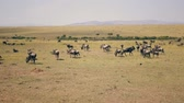 wildebeest : African Savannah Plain Where Thousands Of Wildebeest Graze On Yellow Dry Grass