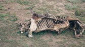zbytky : Close-Up Of The Skeleton Of An African Wildebeest With A Skull On The Ground