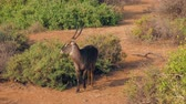 zambia : Antelope Waterbuck Looking At The Camera Then Turns Around And Walks Away Stock Footage