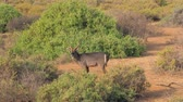 bucks : Portrait Of Wild Antelope Waterbuck Looking At The Camera In The African Samburu Stock Footage
