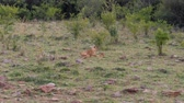 african masai : African Lioness With Cubs Resting On The Grass Near The Bushes In The Savannah Stock Footage