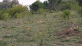 mara : African Lioness With Cubs Resting On The Grass Near The Bushes In The Savannah Stock Footage