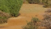 opatrný : African Black-Backed Jackal Runs Along A Sandy Ground And Hiding In The Shrubs Dostupné videozáznamy