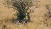 çita : Family Of African Cheetahs Resting In The Shade Of A Tree On A Hot Sunny Day