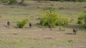 tusks : Warthogs Run Away To The Sides On A Green Pasture In The African Savannah Stock Footage