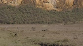 boar : Warthogs And Zebras Graze In The Meadow In The Dusty And Arid African Valley