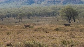 boar : Warthogs Go Through The Pasture In The Dusty And Arid African Savannah