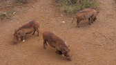 rovník : Three Warthogs Searching For The Smell Of Food On The Dusty Red Earth In Africa Dostupné videozáznamy
