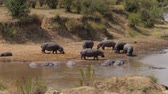 hipopótamo : Hippos Still Standing On The Banks Of The Mara River, Others Are Cooled In Water