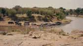 omnivore : Herd Hippos Resting On The Banks And In The Water Of The Mara River In Africa