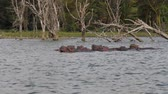 riverbank : Hippos Rest In The Water Of The Lake On The Background Of Dried Snags Of Trees