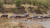 hipopótamo : Herd Of Hippos Rest And Stand On The Banks Of The River Cooled In The Water
