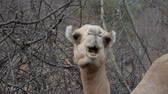indifferent : Close Up Of A Camel Head Chews Funny