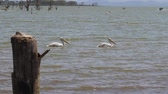 pelikán : Two Pelicans Swim On Lake Naivasha In Africa Among The Snags Of Trees